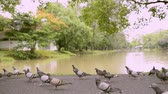 volaille : Doves in public park near natural pond, Birds are walking and flying together.