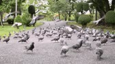 group of animal : Group of dove are walking and flying in public park.