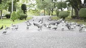 volaille : Group of dove are walking and flying in public park.