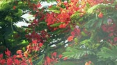 křoví : Flame tree or Royal poinciana tree is flowering and waving with the wind.