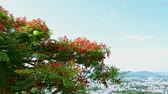 colores fuertes : Flame tree or Royal poinciana tree is flowering and waving with the wind, Red flower tree view to the town. Archivo de Video