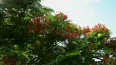 plantas : Flame tree or Royal poinciana tree is flowering and waving with the wind, Red flower tree view to the town. Stock Footage