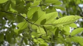 plantas : Green leaves of a tree blowing by the wind in the summer time. Stock Footage