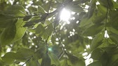 plantas : Beauty of sunshine through the green leaves of the tree blowing by the wind.
