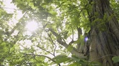 plantas : Beauty of sun shining through the green leaves of the big tree are blowing in the wind. Stock Footage
