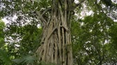 plantas : Large tree in tropical rain forest, Huge banyan tree is growing in natural park.
