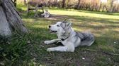Black and white dog, breed Siberian Husky outdoors in the park in summer