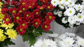 krizantem : chrysanthemums. chrysanthemums in a pot