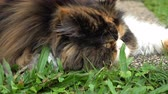 portrait shot : dolly shot, persian cat fluffy pet playing in lawn grass turf of green front yard