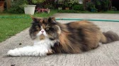 tabby : persian cat fluffy pet playing in lawn grass turf of green front yard