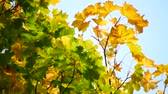 november : Yellow Maple Autumn Leaves in Aberdeen, Scotland UK Stock Footage