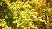 aberdeen : Yellow Maple Autumn Leaves in Aberdeen, Scotland UK Stock Footage