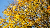 aberdeen : Autumn Leaves in Aberdeen, Scotland UK Stock Footage