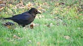 finding : A crow walking on the grass and finding food Stock Footage