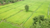 Aerial view from a drone of green rice field and flying around the tree in Thailand Stock mozgókép