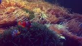 tentáculo : Animals or wildlife concept : clown fish swimming in the anemone coral reef