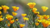 vibrante : California Poppies in the Wind Stock Footage