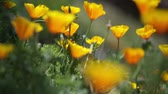 vibrante : Wild California Poppies