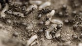 laborious : Ants in the wild with larvae 4K Closeup Footage Stock Footage