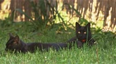 oido : Cute black cat in the summer Archivo de Video