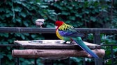 cins : Fascinating close up 4k view on rainbow colorful tropical birds parrots feeding drinking in wild nature environment Stok Video