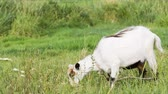 食物 : White young goat is grazing in the field. Goat eats fresh grass on pasture near the farm. 影像素材