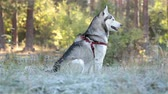 pet : Siberian Husky sits in shade near woods. Grass of white color from frost. Dog is resting after run.