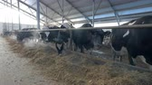 krávy : Many cows, flock in farm. Herd of cows looking in to camera, eating in cowshed. Dostupné videozáznamy