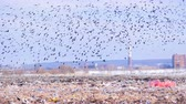 decaying : Birds flying over the landfill. 4K. Stock Footage