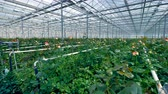 flower production : Big greenhouse generating great number of flowers. Stock Footage