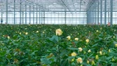 consumir : White roses growing in large greenhouse. Vídeos