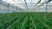 stodola : Immense greenhouse generating a lot of flowers.