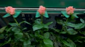 сортировать : Big rose stems with pink half-opened buds are moving on factory line. 4K. Стоковые видеозаписи