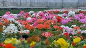 sector : Close view on closely planted colorful pelargonium flowers.