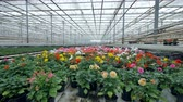 герань : Bright blooming potted plants in a nursery.