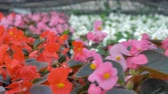 sector : Rows of red begonia flowers in a huge greenhouse. 4K.