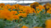 estufa : Closeup on dimly lit rows of orange marigolds.