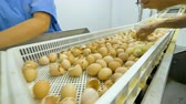 ремень : Workers at poultry sorting baby chicken. Cute chicks at a poultry farm, poultry conveyor. 4K.