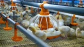 chicken wings : Chicken Farm, poultry equipment. Baby chicken at a poultry. 4K.