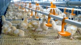 chicken wings : Baby chiken at a poultry. Chicken Farm, poultry equipment.
