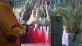 farming equipment : An endless line of chickens for throat cutting. Stock Footage