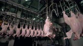 whole body : Many shaking chicken bodies hang from poultry factory line.