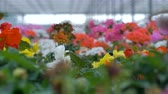 flower growing : Beautiful flowers of different colours in a big greenhouse. 4K.