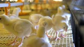 farming equipment : Cute baby chickens at poultry. 4K.