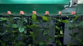 сумма : Roses passing an automatic sorting conveyor.