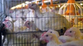 сарай : Several broilers looks outside their neighboring cages. Стоковые видеозаписи