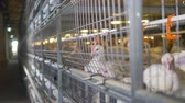 henhouse : Broiler chickens look outside their cages into a corridor.