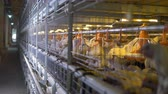 stodola : Feeding, watering and lighting equipment inside operational poultry factory cages. Dostupné videozáznamy