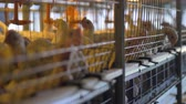 kümes hayvanları : Broiler chickens stick their heads from inside the cages.