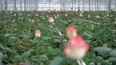 economia rural : A zooming out view on roses growing in a nursery.